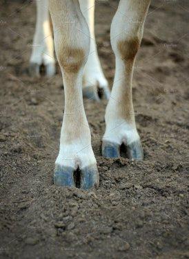 legs cow