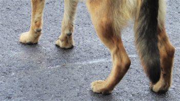 legs dog