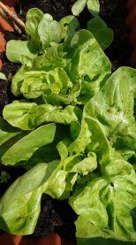s lettuce